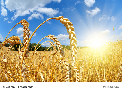 Golden wheat field with sunny sky close up